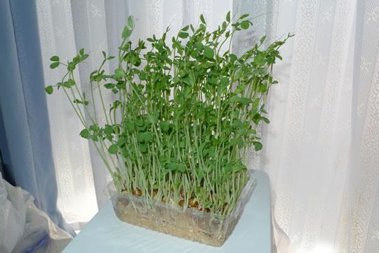 ブロッコリーのスプラウト収穫