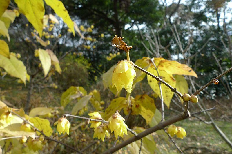 いい香りの黄色い花