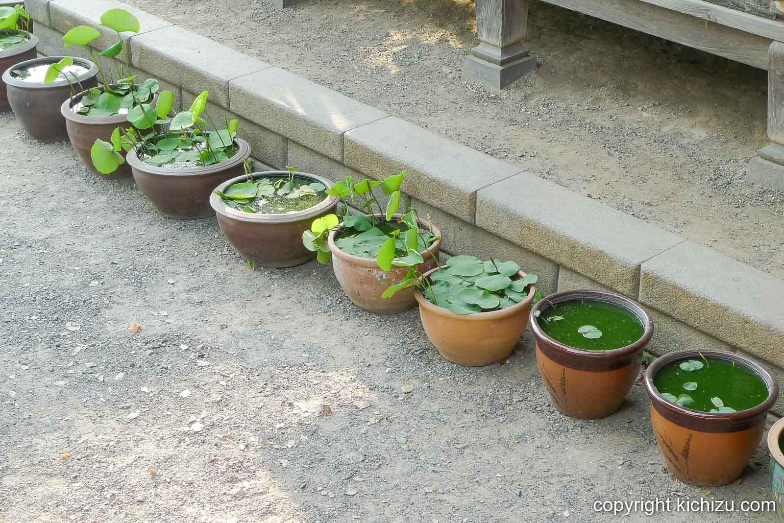 柴又帝釈天 水草の鉢
