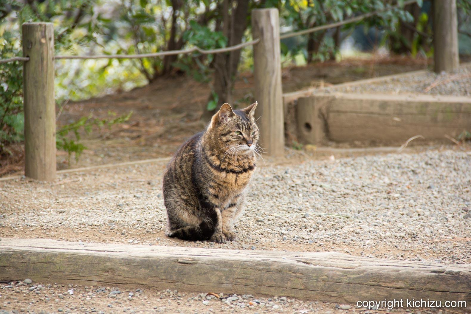 旧古河庭園の看板猫
