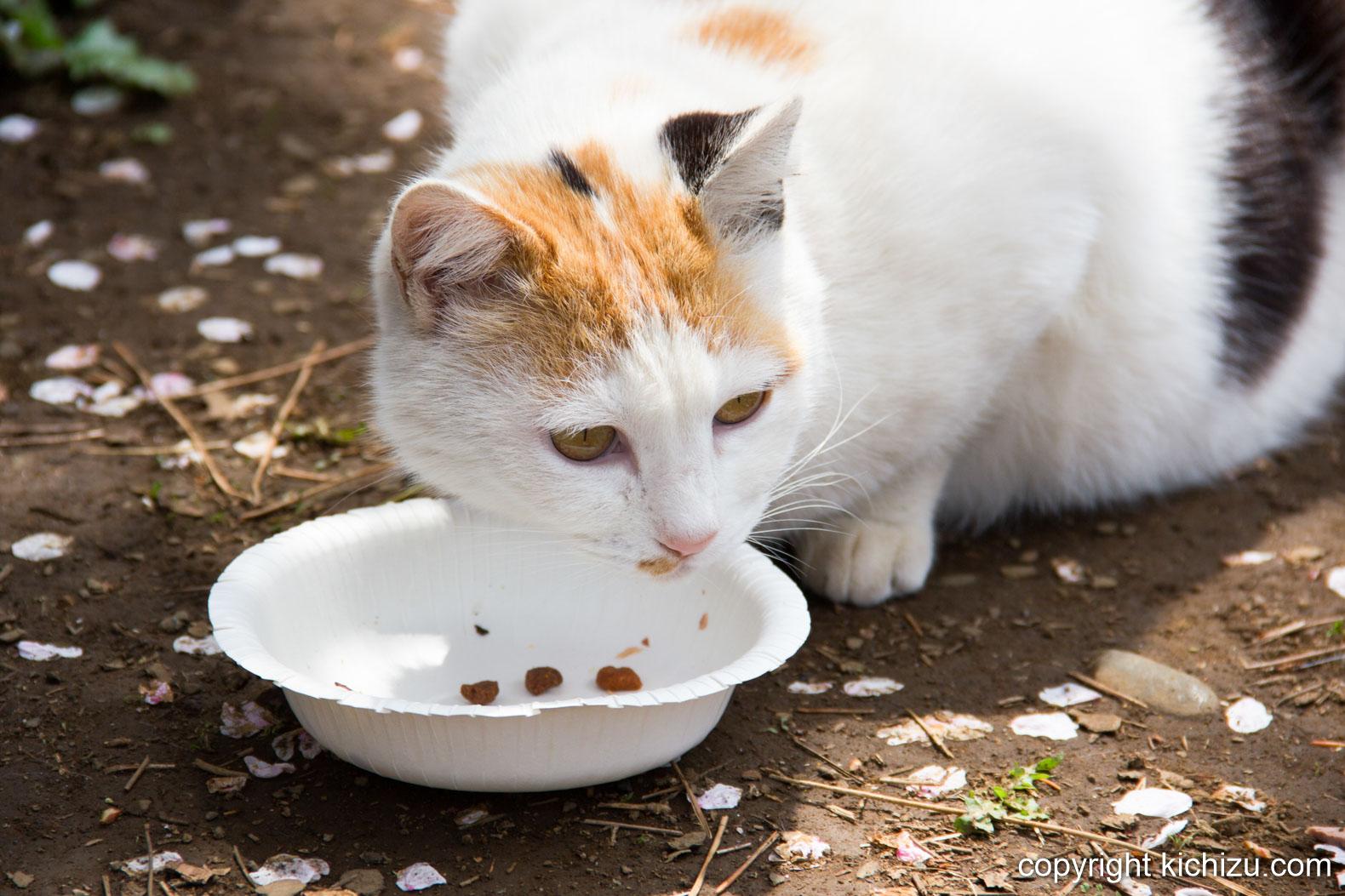 餌食べてる猫
