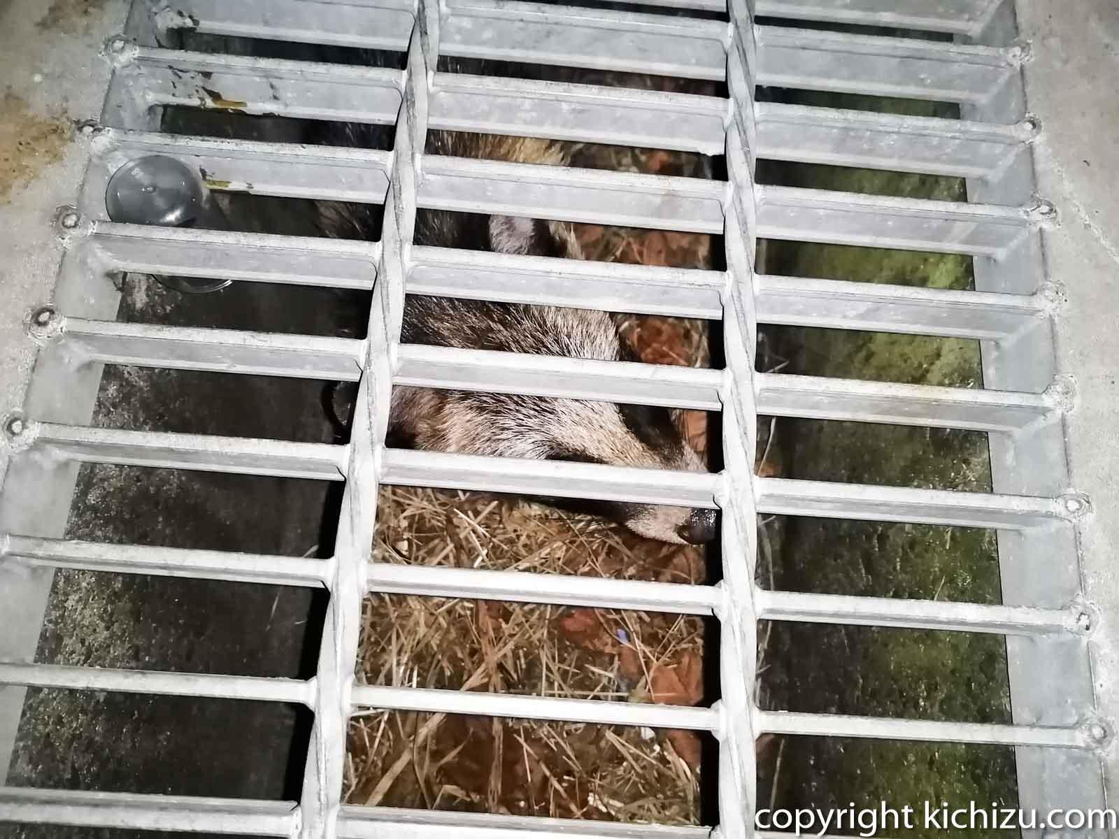 排水口の狸