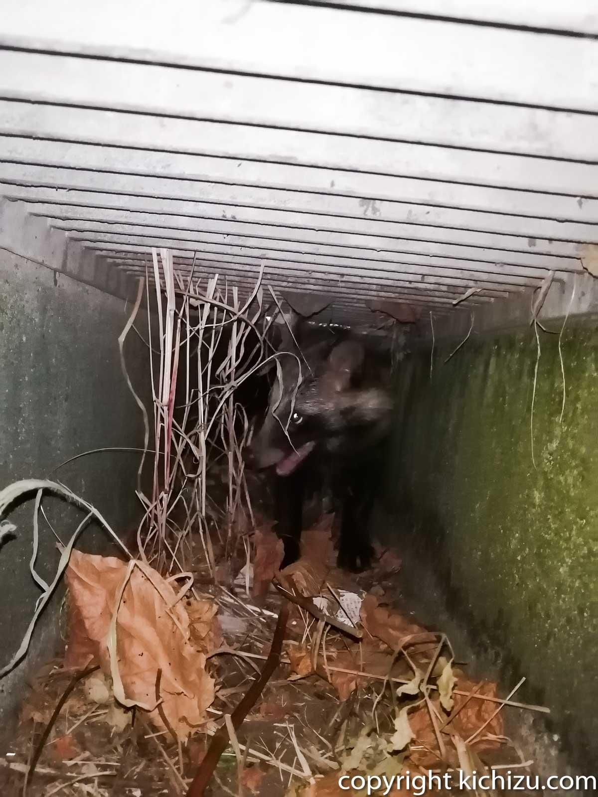 排水口内の狸